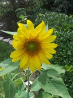 sunflower 20130630_154436