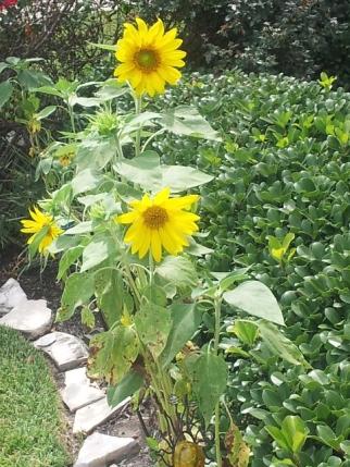 sunflower 20130630_154456
