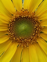 sunflower 20130630_193443