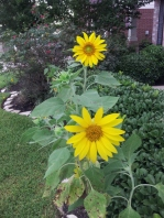 sunflower 20130630_193537